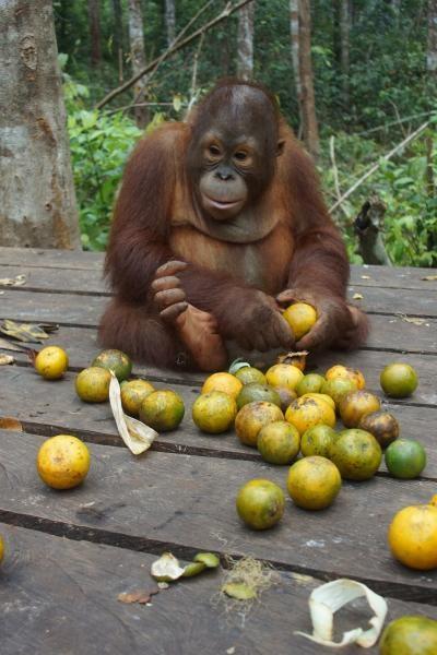 Orangutaní škola v džungli