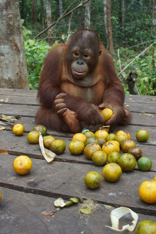 Dokument Orangutaní škola v džungli