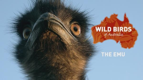 Divocí ptáci Austrálie